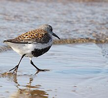 """Dunlin"""" more specifically – a Breeding (plumage) adult. by Bradley Nichol"""
