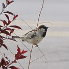 Male Black Throated Sparrow in Las Vegas, New Mexico by janetmarston