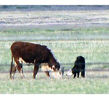 Mama Cow and Baby Calf in New Mexico Photographic Print