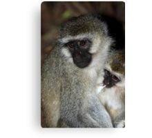 Black-faced Vervet Monkeys, Kenya. Canvas Print