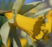 Bi Colored Daffodil  by Chris Coates