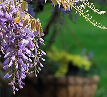 Whispering Wisteria by Tracy Riddell
