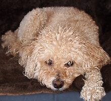Schnoodle relaxing on a couch by Julie Haydon