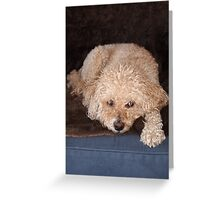 Schnoodle relaxing on a couch Greeting Card