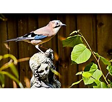 The Stunning Jay......... Photographic Print
