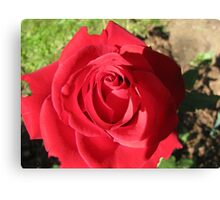 Our first rose of the season Canvas Print