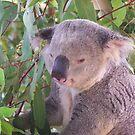 Cuddly Koala..Australia Zoo by judygal