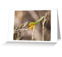 Little brown honey-eater Greeting Card