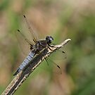 Scarce Chaser by Robert Abraham