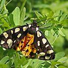 Cream-Spot Tiger by Robert Abraham