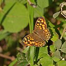 Speckled Wood - Southern Species by Robert Abraham