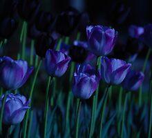 Moonlight tulips by Alain Robillard