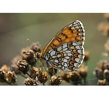 Provincial Fritillary Photographic Print