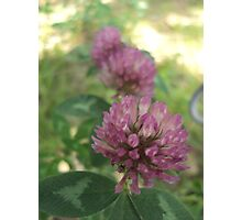 Clover Flower Closeup Photographic Print