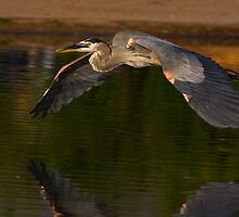 052609 Great Blue Heron by Marvin Collins