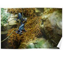 Blue Dart Poison Frog Poster