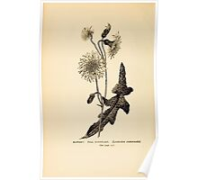 Harper's Guide to Wild Flowers 1912 Creevey, Caroline and Stickney, Alathea 080 Hawkbit or Fall Dandelion Poster