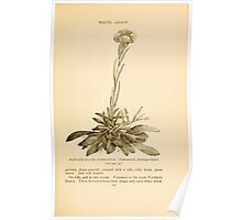 Harper's Guide to Wild Flowers 1912 Creevey, Caroline and Stickney, Alathea 045 Plantain Leaved Everlasting Poster