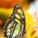 Butterflies  by peterwey