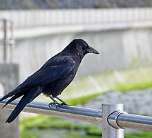 Raven At Lyme Regis by Susie Peek