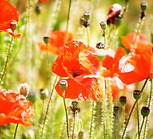 Poppies by lousutherland