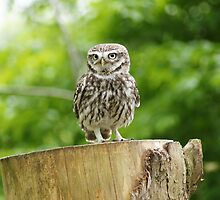 Little Owl by MendipBlue