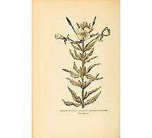 Harper's Guide to Wild Flowers 1912 Creevey, Caroline and Stickney, Alathea 062 Common Evening Primrose Photographic Print
