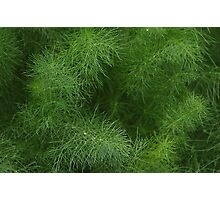 Fabulous Fennel Photographic Print