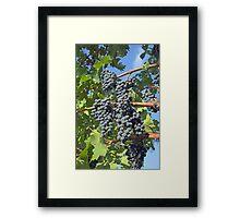 Napa Valley grapes Framed Print