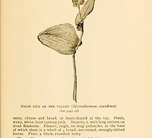 Harper's Guide to Wild Flowers 1912 Creevey, Caroline and Stickney, Alathea 008 False Lilly of the Valley by wetdryvac