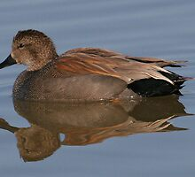 Gadwall Duck by dazlm