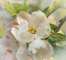 Apple blossom time by Judi Lion
