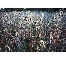 afternoon thistles, Ahjumawi Lava Springs, California Photographic Print