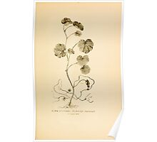 Harper's Guide to Wild Flowers 1912 Creevey, Caroline and Stickney, Alathea 029 Water Pennywort Poster