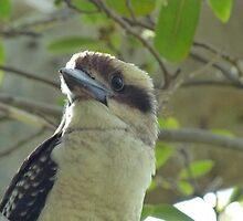 Kookaburra at Sydney's Bradleys Head by Les Bailey