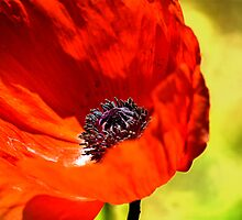 Red Poppy by LudaNayvelt