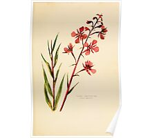 Harper's Guide to Wild Flowers 1912 Creevey, Caroline and Stickney, Alathea 093 Fireweed Poster