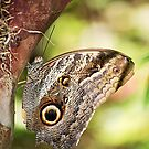 Owl Butterfly by Candyworld