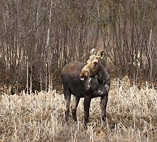Cheeky Moose - Algonquin Park by Jim Cumming