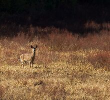 White-tailed deer - Algonquin Park by Jim Cumming