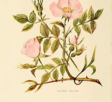 Harper's Guide to Wild Flowers 1912 Creevey, Caroline and Stickney, Alathea 001 Wild Rose by wetdryvac