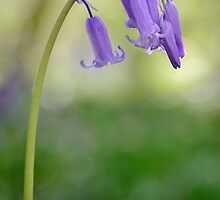 Bluebell by Heidi Stewart