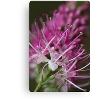 Pink & White Canvas Print