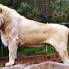 Savannah White Lion by Melanie Roberts