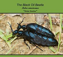 Black Oil Beetles by DigitallyStill