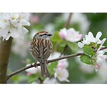 Chipping Sparrow by the apple tree Photographic Print