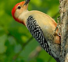 Red-Bellied Woodpecker by okcandids