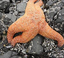 Ochre Starfish by Joe Powell