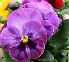 Spring Greetings - Pansies by vbk70