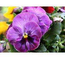Spring Greetings - Pansies Photographic Print